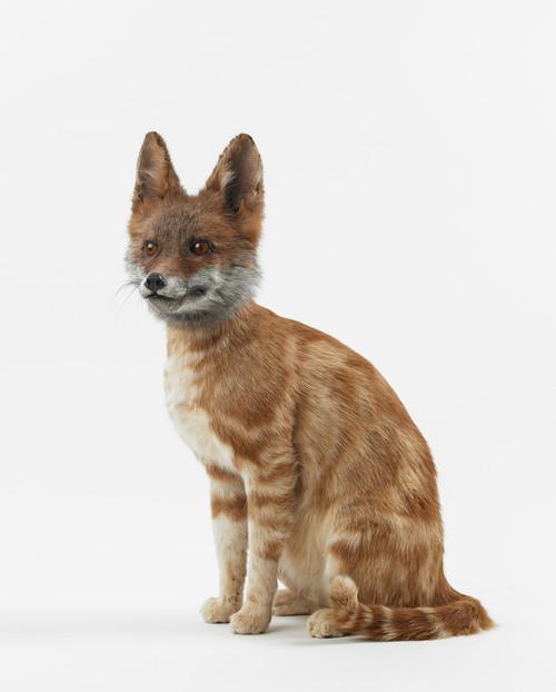 <i>misfit (fox / cat)</i>,       2016<br />      taxidermy,        45 x 30 x 30 cm<br />